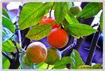 Pomeranzen in der Orangerie von Bad Muskau  ..