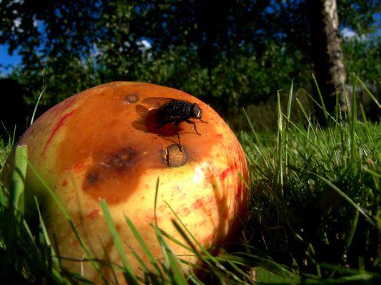 Pomme de Nivelle, France