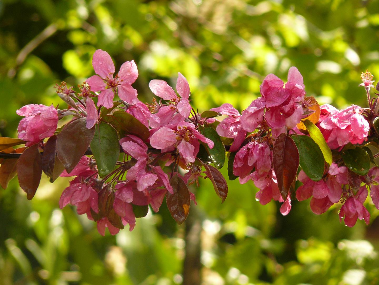 Pommier fleur