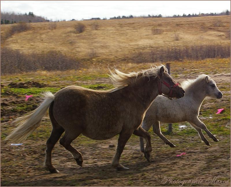Poney & poulain