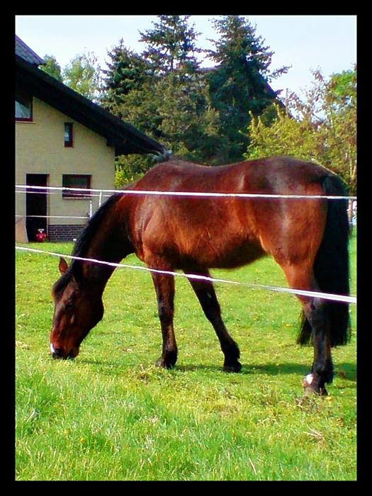 Ponny am grasen