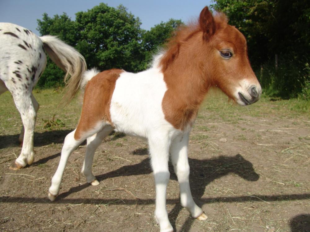 Ponnyfohlen