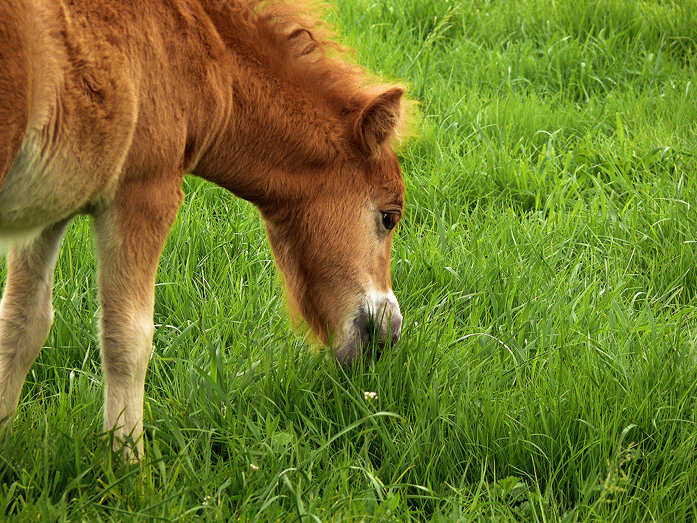 Pony colt nibbling grass