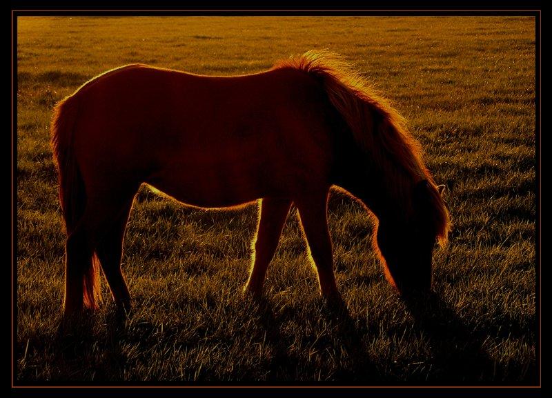 Pony in der Abendsonne