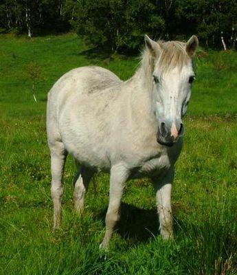 Pony in Norwegen 2