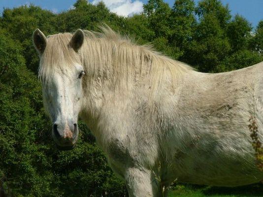 Pony in Norwegen