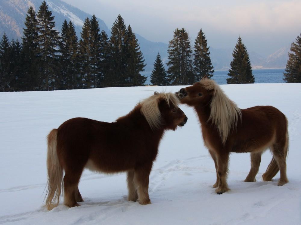 Ponys am Walchensee 2
