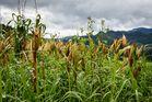 Popcorn field
