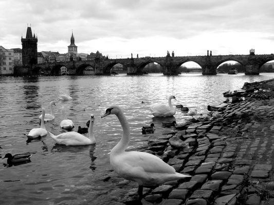 Popolazione di cigni a Praga
