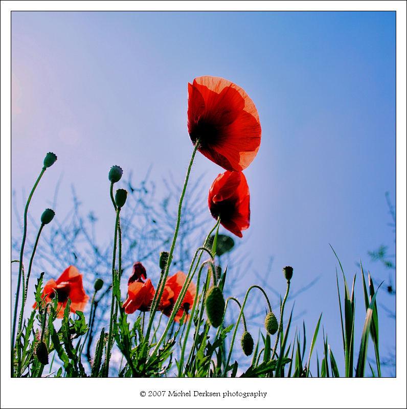 Poppies!