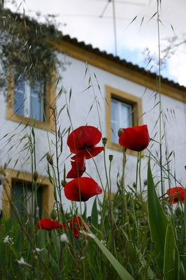 Poppies and House