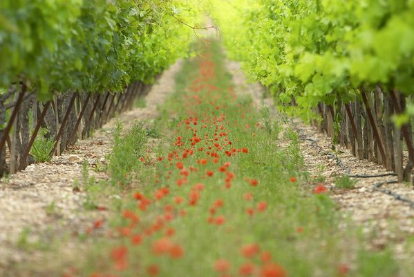 Poppies and Wine