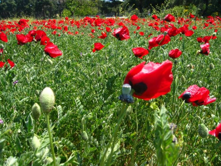 Poppies' dance in wind