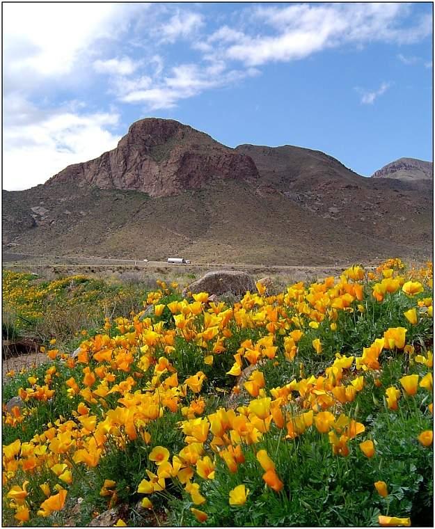 Poppies in El Paso