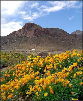 Poppies in El Paso