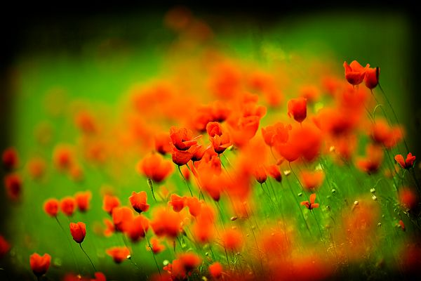 Poppies in Lomo