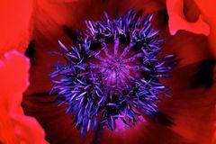 Poppies in my garden (2)