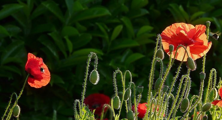 Poppies in the early morning light