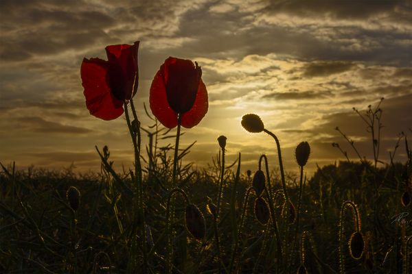 .poppies.sunset.
