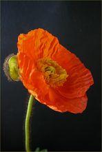 poppy again
