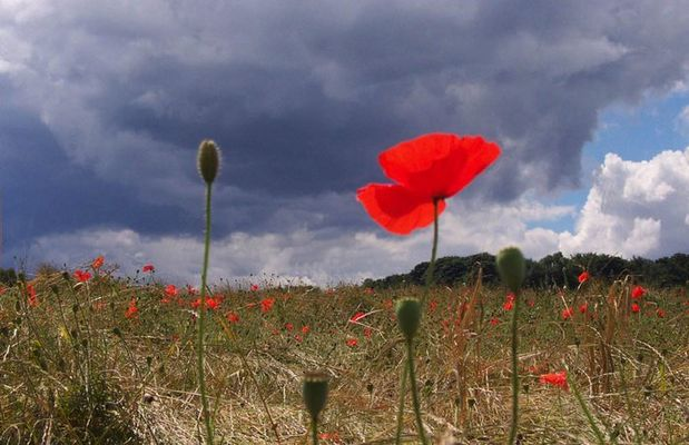 Poppy Before The Storm