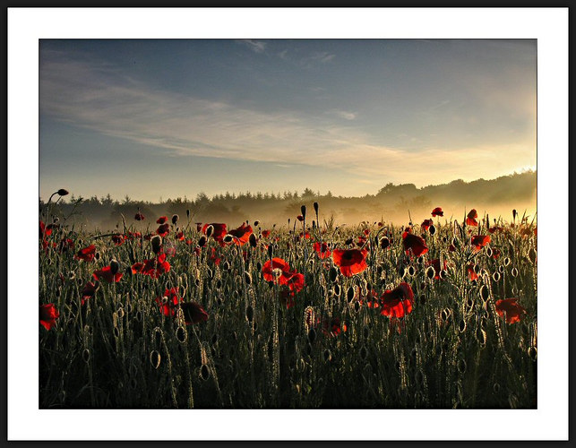 Poppy-field at sunrise