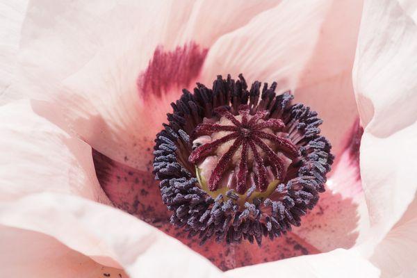 Poppy in Maine