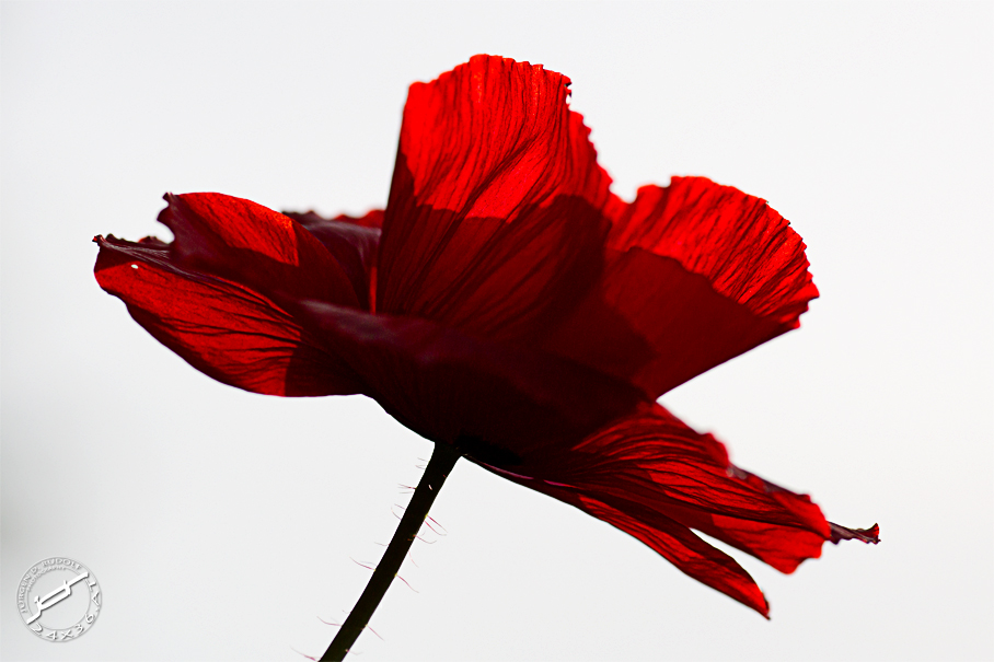 poppy in red