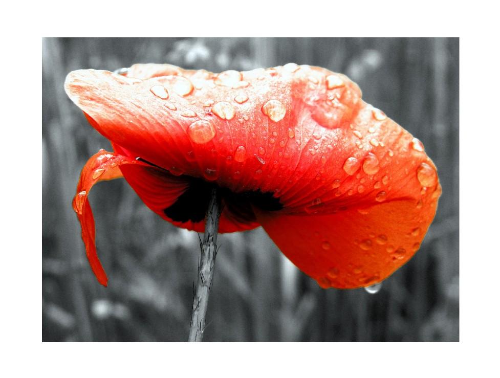 poppy still