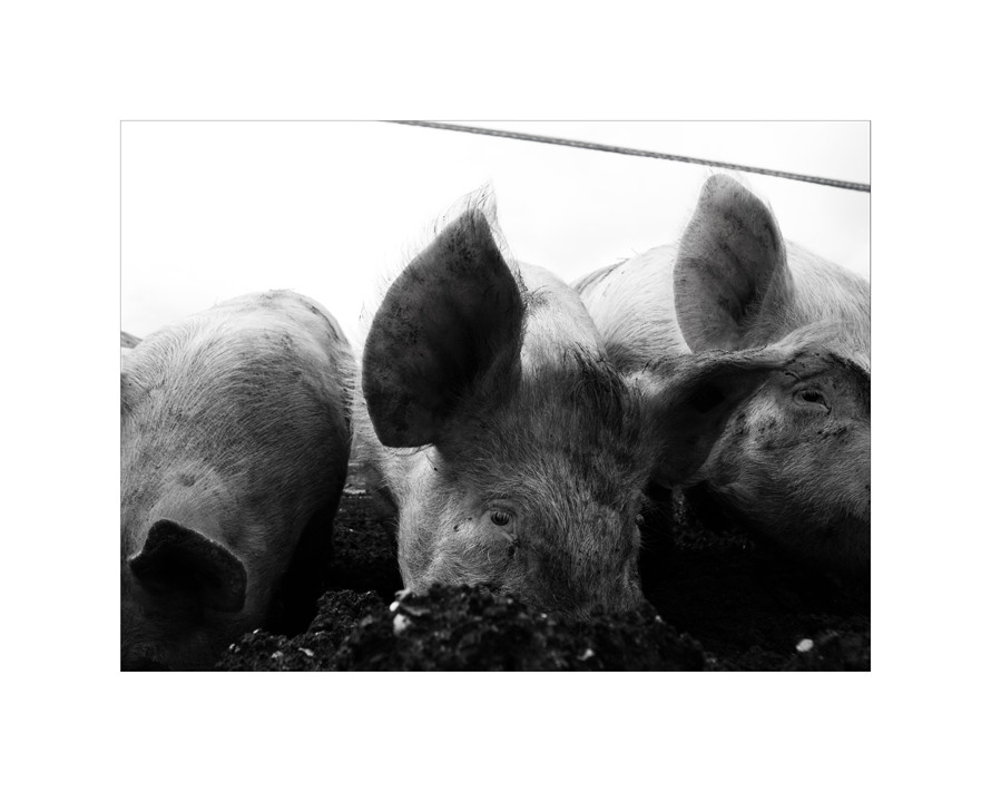 porco fidelio II