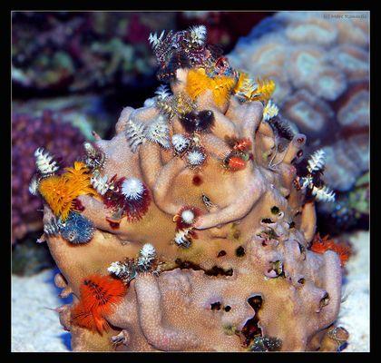 Porites lobata (Multicolor Stein)
