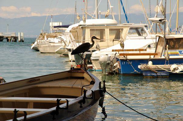 port de Thonon les bains, les hérons