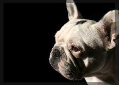 Portait einer französischen Bulldogge