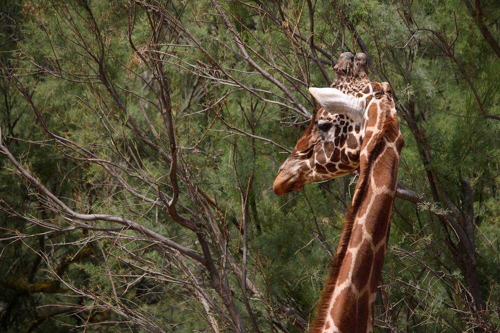 portait girafe