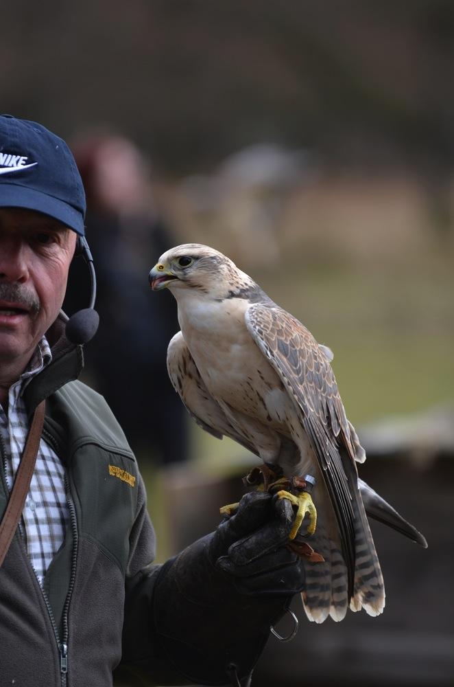 Porträt Aufnahme eines Falken.