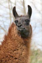 Porträt Classic Lama