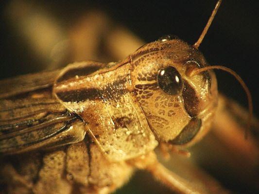 Porträt einer Wanderheuschrecke