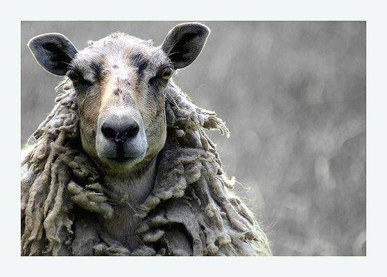 Porträt eines Schafes