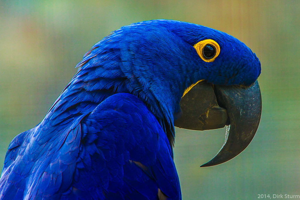 Porträt Papagei