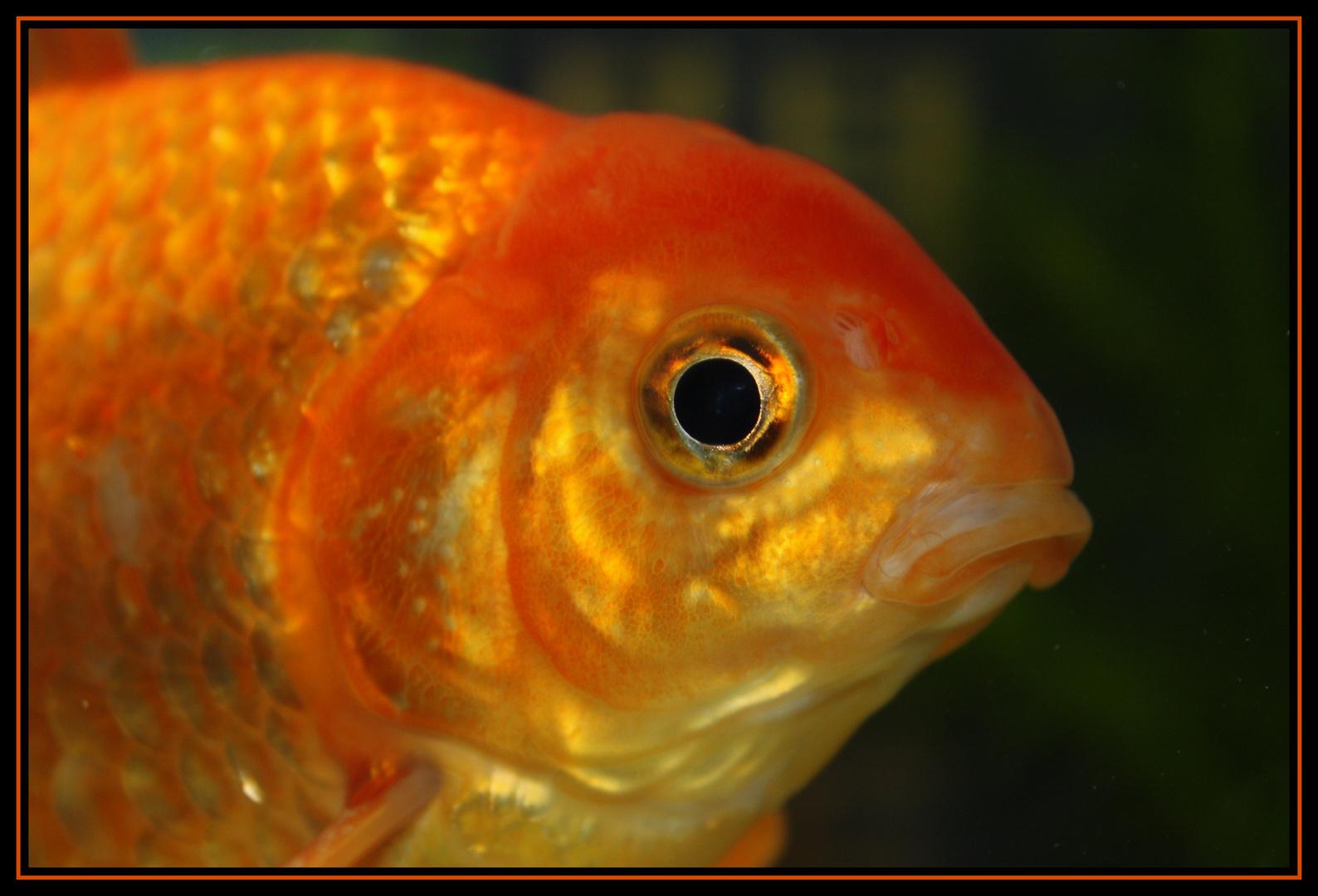 Portrait de mon poisson rouge