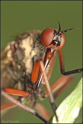 Portrait de mouche inconnue