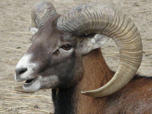 Portrait de Mouflon