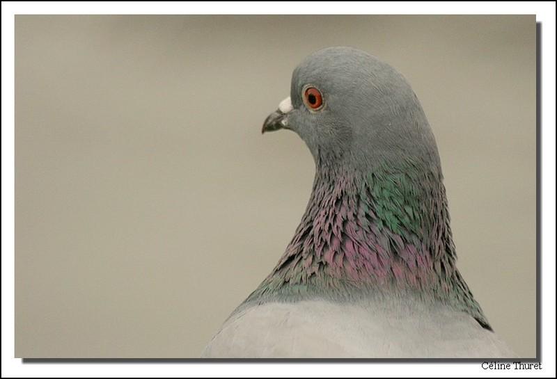Portrait de pigeon