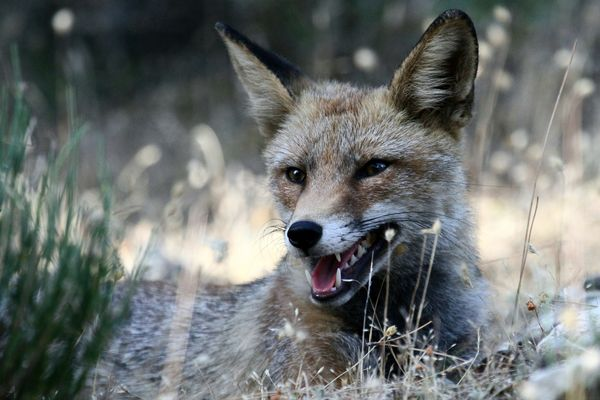 Portrait de renard