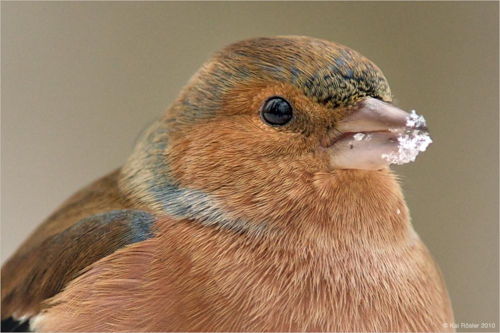 Portrait des Buchfinken