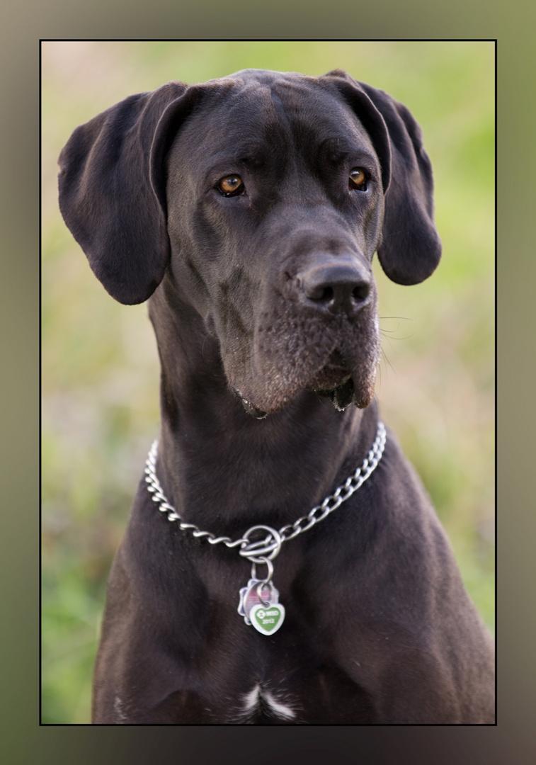Portrait Deutsche Dogge