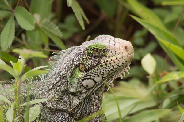 Portrait d'Iguane