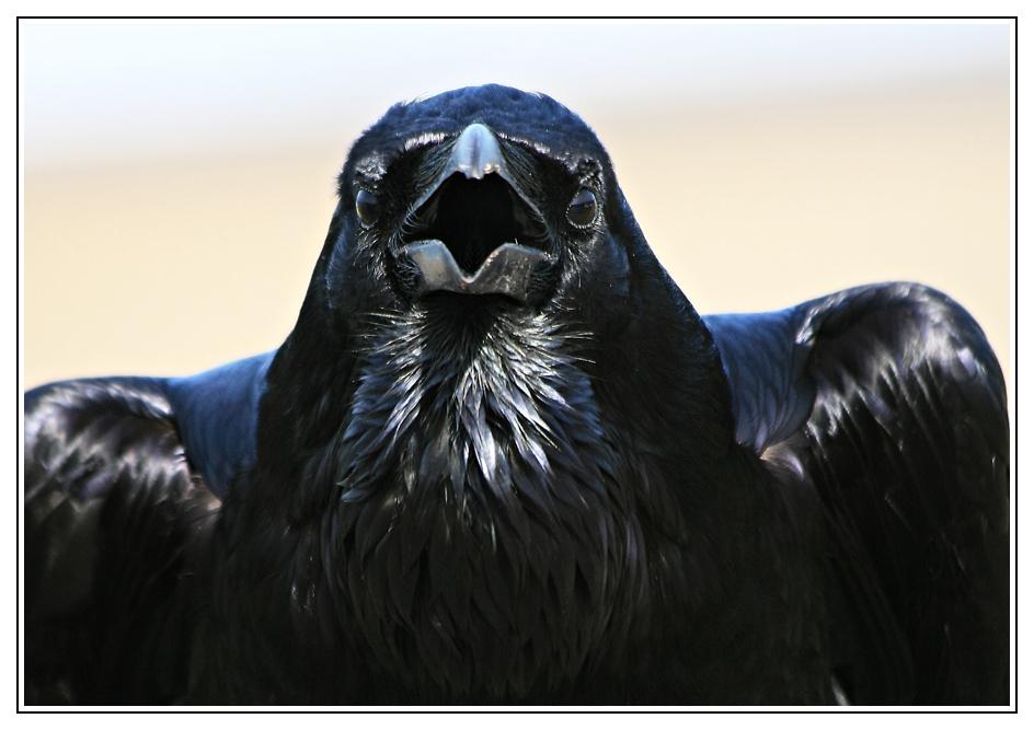 Portrait du grand corbeau