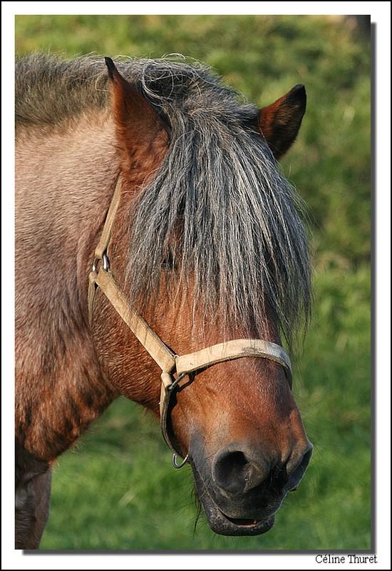 Portrait d'un cheval Ardennais