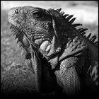 Portrait d'un survivant - Iguane terrestre